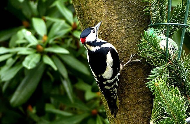 Great Spotted WoodpeckerPhoto by: Oldiefanhttps://pixabay.com/photos/bird-great-spotted-woodpecker-2109659/