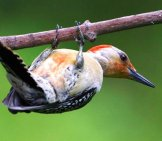 Red Bellied Woodpecker Photo By: Skeeze //pixabay.com/photos/red-Bellied-Woodpecker-Bird-Wildlife-941325/