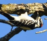 Hairy Woodpecker Looking For Lunch Photo By: Andy Reago & Chrissy Mcclarren Https://creativecommons.org/licenses/by/2.0/