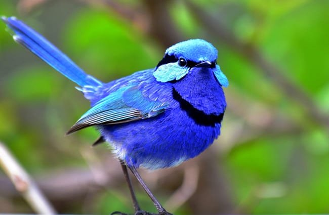 Splendid Wren Photo by: Laurie Boyle https://creativecommons.org/licenses/by-sa/2.0/