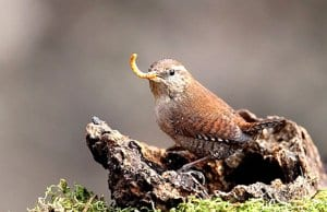 Pretty little Wren fetching breakfastPhoto by: Giuseppe Calsamigliawww.GiuseppeCalsamiglia.com https://creativecommons.org/licenses/by-sa/2.0/