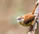 Pretty Carolina Wren Photo By: Shenandoah National Park Https://creativecommons.org/licenses/by-Sa/2.0/