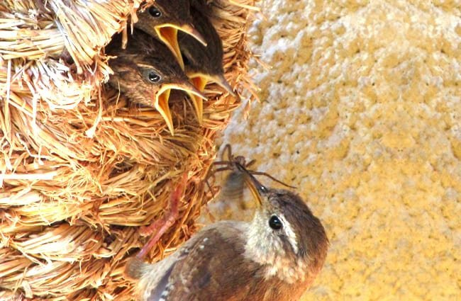 Wren babies squawking for the spider Mom brought home for dinner Photo by: Andrew Gustar https://creativecommons.org/licenses/by-sa/2.0/