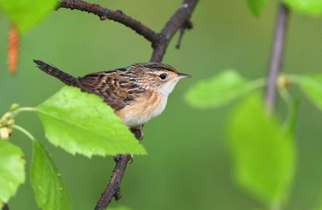 Sedge Wren Photo by: Andy Reago & Chrissy McClarren https://creativecommons.org/licenses/by-sa/2.0/