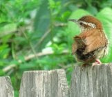 Carolina Wren On The Garden Fence Photo By: Patricia Pierce Https://creativecommons.org/licenses/by-Sa/2.0/