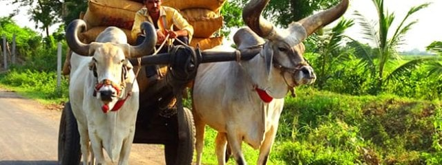 Zebu pulling a cart in India Photo by: Bishnu Sarangi, public domain https://pixabay.com/photos/bullock-ox-cart-cattle-kankrej-2830239/