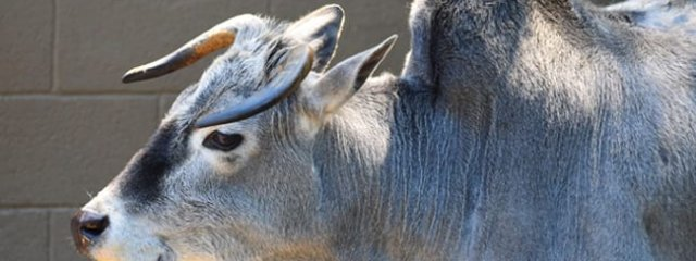 Zebu in profile Photo by: Laura Wolf https://creativecommons.org/licenses/by/2.0/