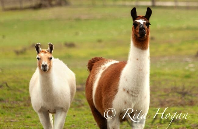 Stunning Alpacas, clean and shiny Photo by: Rockin'Rita https://creativecommons.org/licenses/by-nd/2.0/