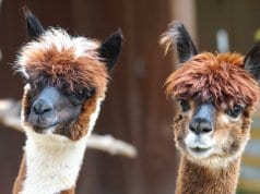 A pair of curious AlpacasPhoto by: Marcel Langthim//pixabay.com/photos/alpaca-andes-wool-fluffy-paarhufer-984887/
