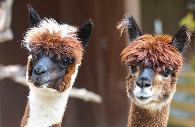 A pair of curious AlpacasPhoto by: Marcel Langthimhttps://pixabay.com/photos/alpaca-andes-wool-fluffy-paarhufer-984887/