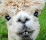 Closeup Of A White Alpaca Photo By: Richard Smith Https://pixabay.com/photos/alpaca-Smile-Teeth-Fur-Funny-Farm-985158/