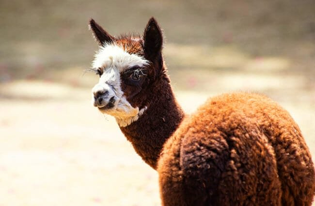 Alpaca Photo by: minka2507 https://pixabay.com/photos/alpaca-mammal-animal-animal-world-4292826/