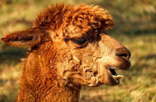 Brown Alpaca Photo by: 1195798 https://pixabay.com/photos/alpaca-animal-creature-fur-2214650/