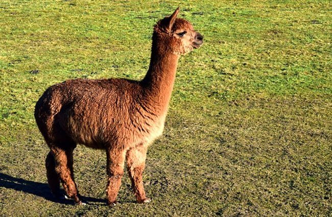 Beautiful chocolate-brown Alpaca Photo by: Ulrike Leone https://pixabay.com/photos/mammal-animal-grass-wool-farm-3210167/