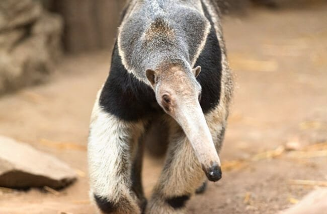 Anteater Photo by: Eric Kilby https://creativecommons.org/licenses/by-sa/2.0/