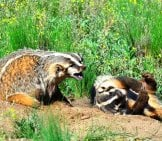 A Pair Of Badgers Enjoying Some Morning Sunphoto By: Larry Lamsahttps://creativecommons.org/licenses/by/2.0/