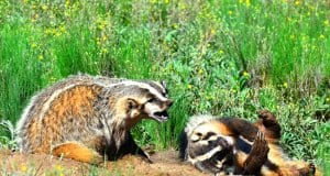 A pair of badgers enjoying some morning sunPhoto by: Larry Lamsa//creativecommons.org/licenses/by/2.0/