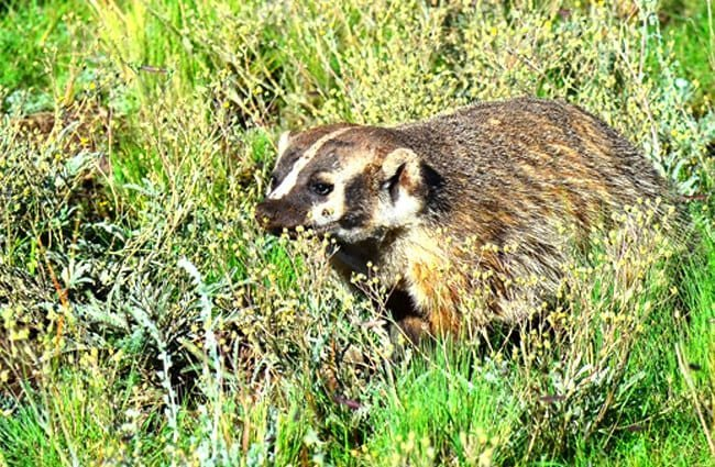 Beautiful Badger out in the field Photo by: Larry Lamsa https://creativecommons.org/licenses/by/2.0/