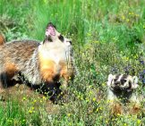 Badgers In The Field Photo By: Larry Lamsa Https://creativecommons.org/licenses/by/2.0/