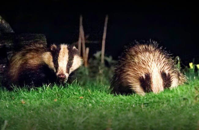 A pair of badgers Photo by: Charlie Marshall https://creativecommons.org/licenses/by/2.0/