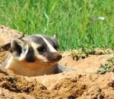A Badger Pokes Its Head Out Of Its Burrowphoto By: Usfws Mountain-Prairiehttps://creativecommons.org/licenses/by/2.0/