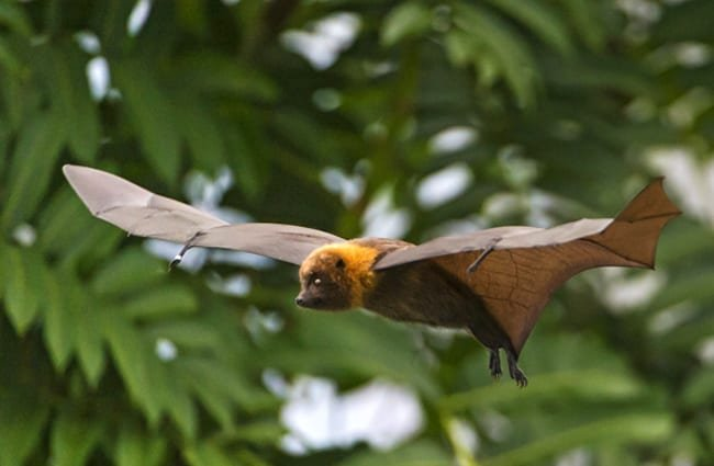 Flying fruit bat Photo by: Tambako The Jaguar //creativecommons.org/licenses/by-nd/2.0/