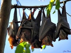 Bats lined up on a tree branchPhoto by: john skewes//creativecommons.org/licenses/by-nd/2.0/