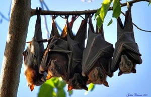 Bats lined up on a tree branchPhoto by: john skeweshttps://creativecommons.org/licenses/by-nd/2.0/