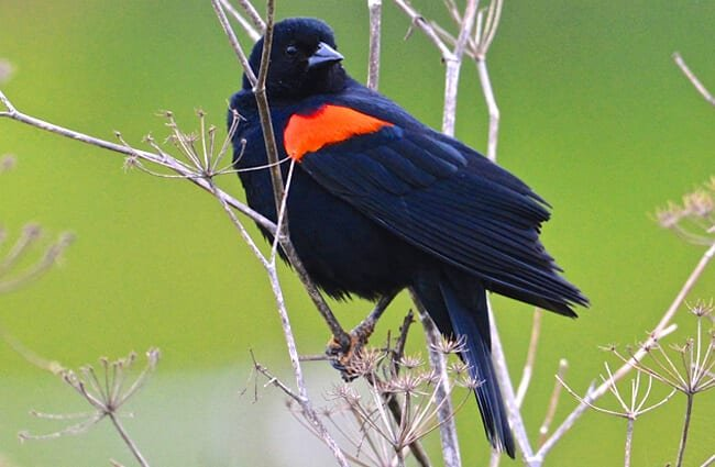 Red-Winged Blackbird Photo by: Don Owens https://creativecommons.org/licenses/by/2.0/
