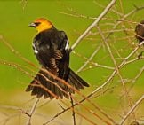 Yellow-Headed Blackbird Photo By: Jaime Robles Https://creativecommons.org/licenses/by/2.0/
