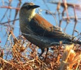 Rusty Blackbird Photo By: Andy Reago & Chrissy Mcclarren Https://creativecommons.org/licenses/by/2.0/