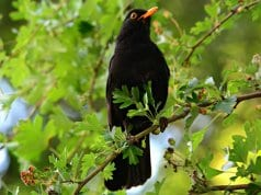 Portrait of a beautiful blackbird roosted in a treePhoto by: Mabel Amber, still incognito...//pixabay.com/photos/blackbird-songbird-animal-beak-4265545/