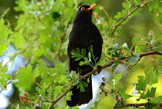 Portrait of a beautiful blackbird roosted in a treePhoto by: Mabel Amber, still incognito...https://pixabay.com/photos/blackbird-songbird-animal-beak-4265545/