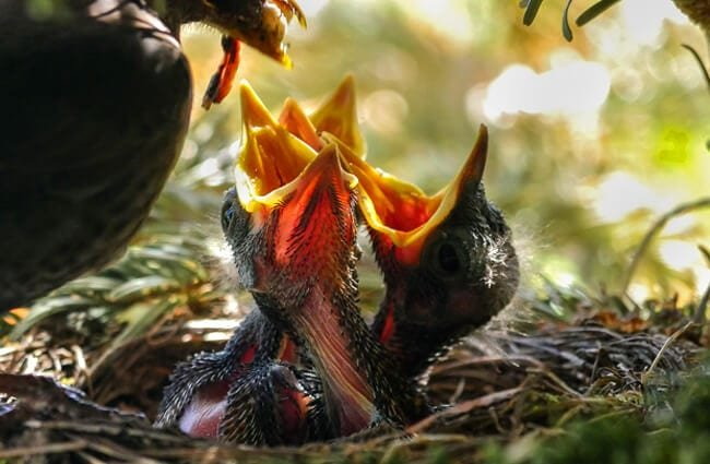 A nest full of Blackbird chicks clamoring for dinner Photo by: Gerhard Gellinger https://pixabay.com/photos/bird-nest-feed-nature-animal-3350136/