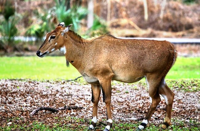 Nilgai in India Photo by: cuatrok77 //creativecommons.org/licenses/by-sa/2.0/
