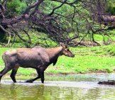 Nigali Walking Through The Water Photo By: Bishnu Sarangi //pixabay.com/photos/nilgai-Antelope-384173/