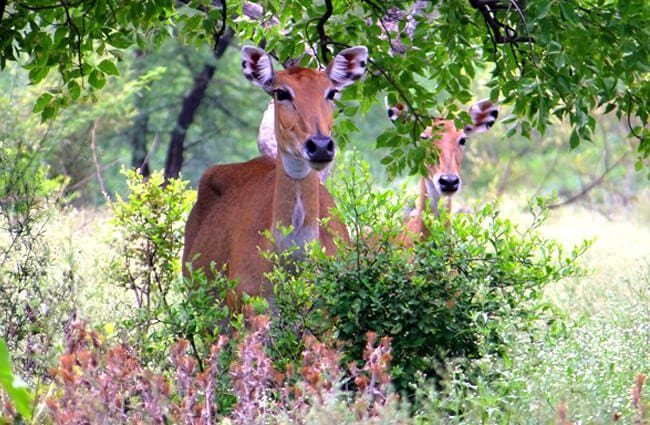 Blue Bull females peeking out from the shrubbery Photo by: Bishnu Sarangi //pixabay.com/photos/nilgai-antelope-385271/