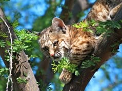 Juvenile Bobcat looking down from his lofty perchPhoto by: Daniel Plumer//creativecommons.org/licenses/by/2.0/