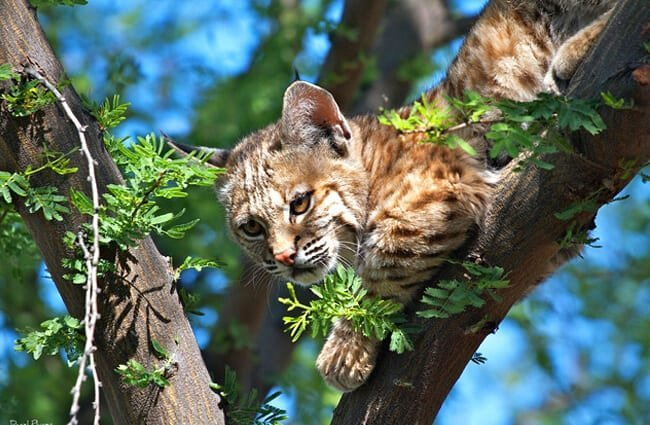Juvenile Bobcat looking down from his lofty perchPhoto by: Daniel Plumerhttps://creativecommons.org/licenses/by/2.0/