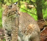 This Bobcat Is Unafraid Of The Photographer Photo By: Dgriebeling Https://creativecommons.org/licenses/by/2.0/