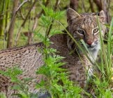 Such A Beautiful Bobcat Looking Through The Foliage Photo By: Andy Morffew Https://creativecommons.org/licenses/by/2.0/