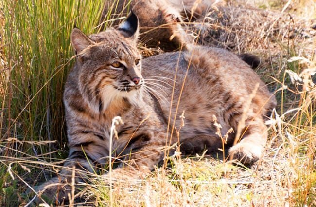 Bobcat camouflage Photo by: James Abbott https://creativecommons.org/licenses/by/2.0/