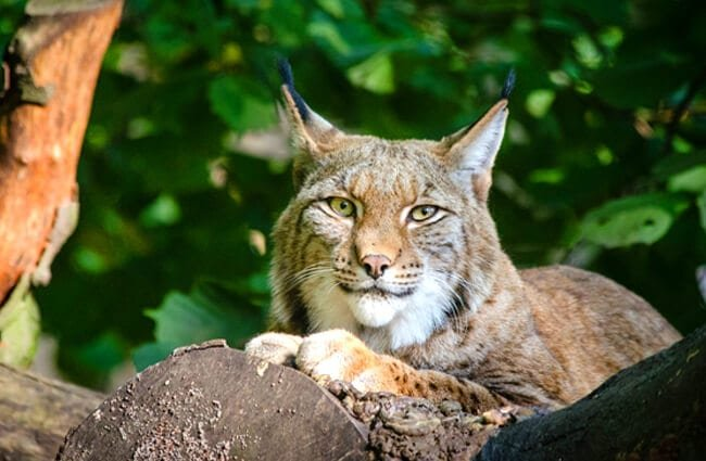 Lounging Bobcat Photo by: skeeze https://pixabay.com/photos/lynx-bobcat-wildlife-predator-988882/