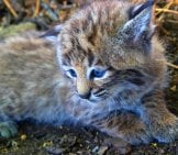 A Beautiful Bobcat Cub Photo By: Skeeze Https://pixabay.com/photos/bobcat-Kitten-Young-Lynx-Wildlife-1622664/