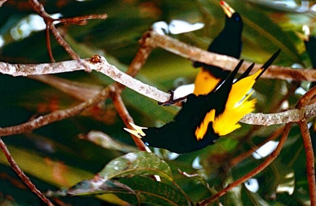 Yellow-Rumped Caciques Photo by: Bernard DUPONT https://creativecommons.org/licenses/by-sa/2.0/