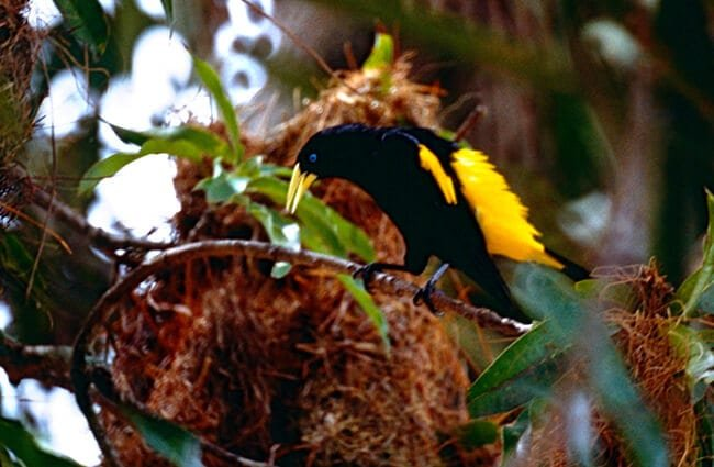 Yellow-Rumped Cacique watching over his nest Photo by: Bernard DUPONT https://creativecommons.org/licenses/by-sa/2.0/