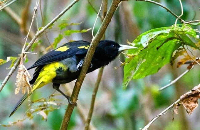 Yellow-Winged Cacique Photo by: Kurt Bauschardt https://creativecommons.org/licenses/by-sa/2.0/