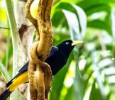 Yellow-Rumped Cacique Photo By: (C) Egeris Www.fotosearch.com