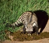 African Civet Eating Carrion At The Side Of The Road Photo By: Brian Ralphs Https://creativecommons.org/licenses/by/2.0/