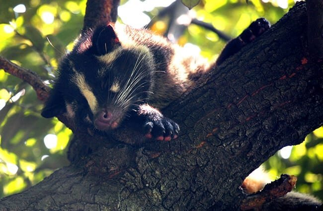 Masked Palm Civet napping in a tree Photo by: Kabacchi https://creativecommons.org/licenses/by/2.0/